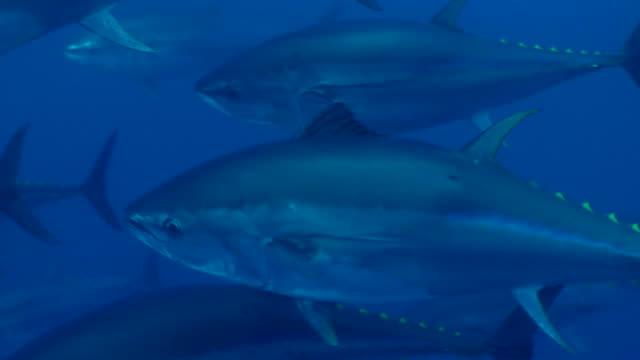 vídeos y material grabado en eventos de stock de tuna's shoals swimming under the sea and detail of one tuna - atún animal