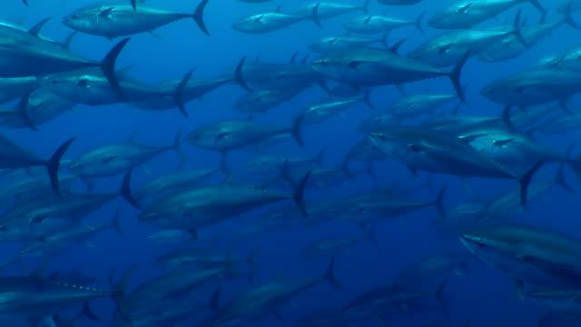 vídeos de stock e filmes b-roll de tuna's shoals swimming under the sea - pesca
