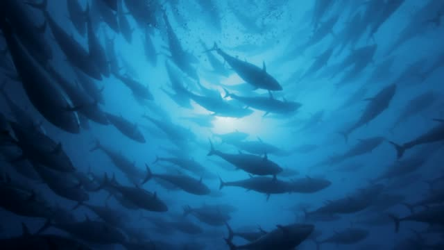 stockvideo's en b-roll-footage met tuna's shoals swimming under the sea - grote groep dieren