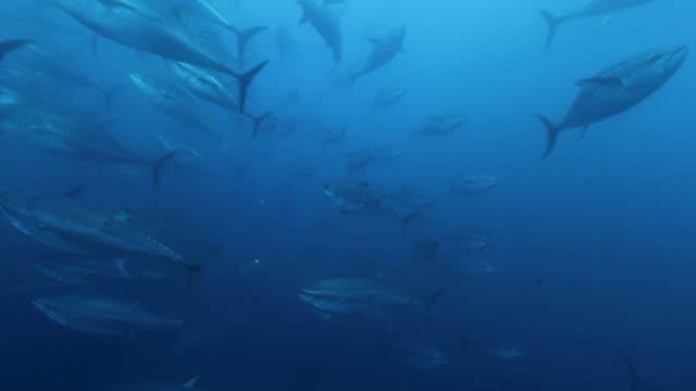 vídeos y material grabado en eventos de stock de tuna's shoals swimming under the sea - atún animal