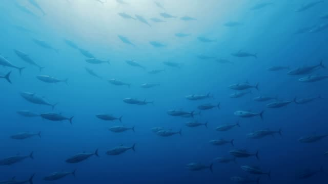 Tuna's shoals swimming under the sea