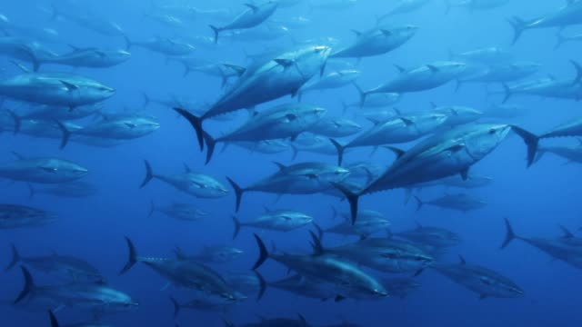 tuna's shoals swimming under the sea - saltwater fish stock videos & royalty-free footage