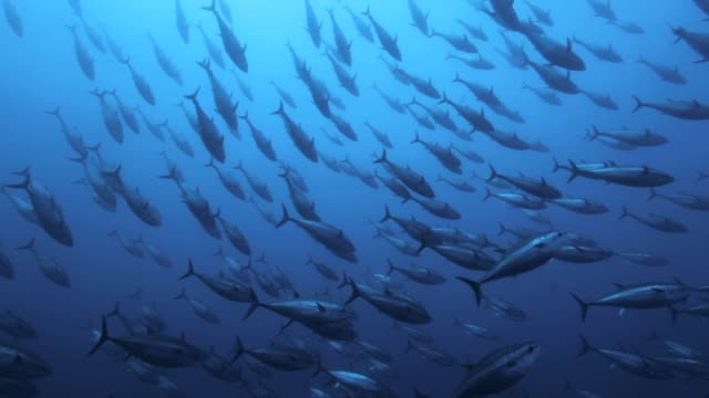 tuna's shoals swimming under the sea - school of fish stock videos & royalty-free footage