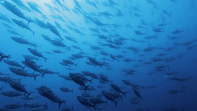 tuna's shoals swimming under the sea - undersea stock-videos und b-roll-filmmaterial