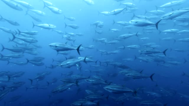 tuna's shoals swimming under the sea - 30秒以上点の映像素材/bロール