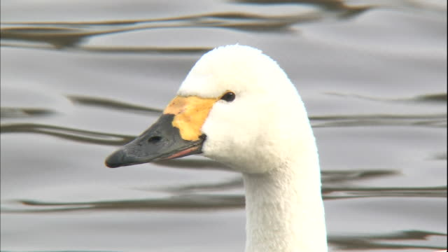 a tundra swan floats on the handa pond and looks around. - cygnet stock videos & royalty-free footage