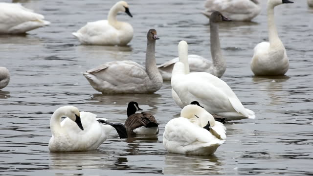 vídeos de stock, filmes e b-roll de tundra swans and canada geese on a lake - water form