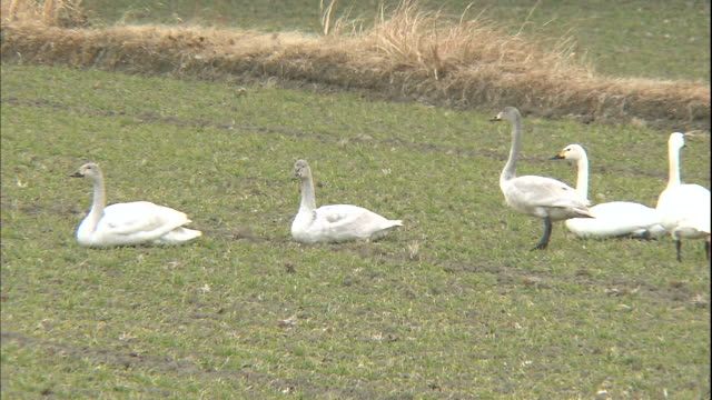 Tundra swans rest in a field.