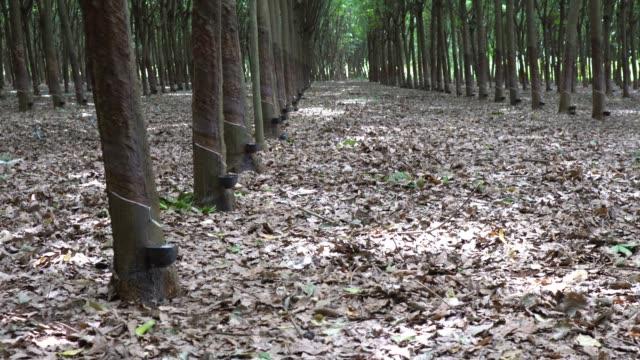 トンネル ゴム農園 - ラテックス点の映像素材/bロール