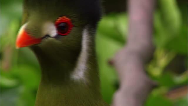 Turaco Bird