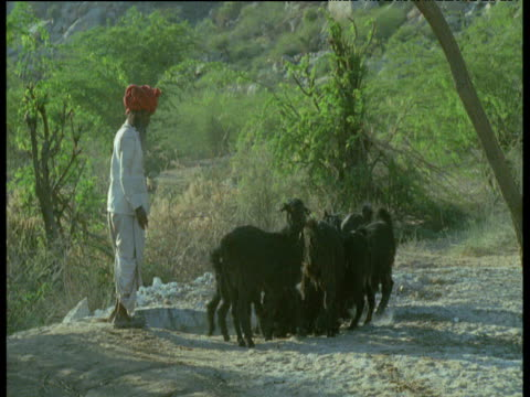vidéos et rushes de turbaned shepherd shooing goats away from drinking pool, india - coiffe traditionnelle