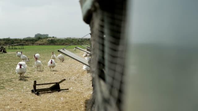 turkey flock outside shed on british farm - turkey stock videos and b-roll footage