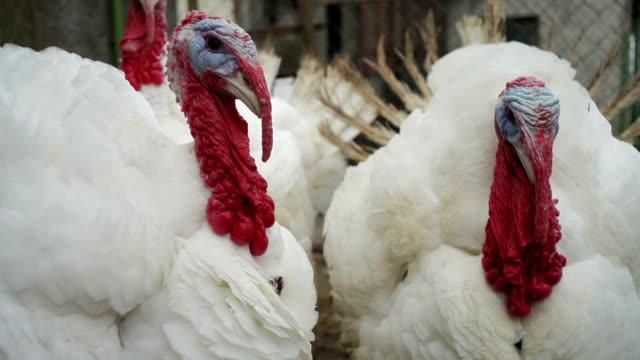 Turkey in Farm