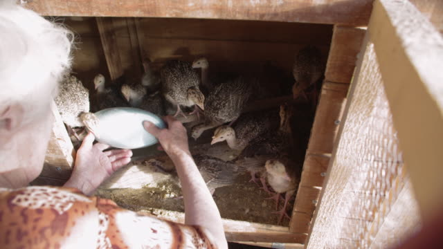 turkey poults. active senior woman working in a poultry farm. baby birds breeding. baby turkeys occupying an animal pen. bird hatchery. - animal pen stock videos & royalty-free footage