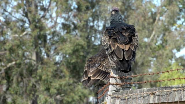 turkey vulture  cathartes aura - bird of prey stock videos & royalty-free footage