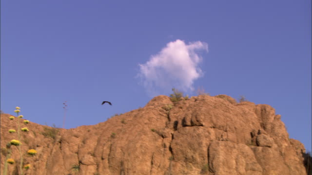 A turkey vulture flies past cliffs and over cacti and bushes.