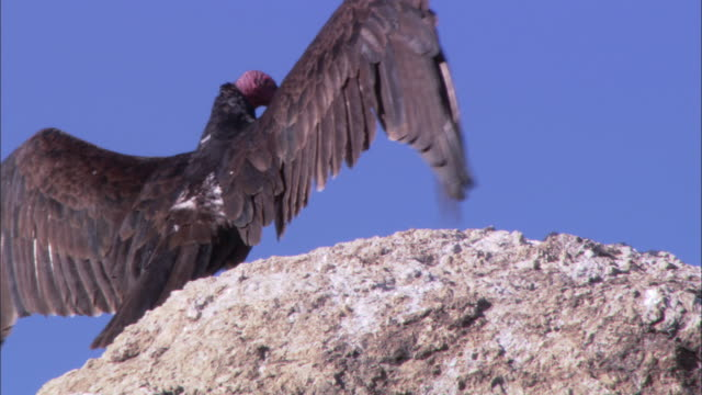 LA Turkey vulture standing on a rock spreading its wings / Sonoran Desert, Arizona, United States