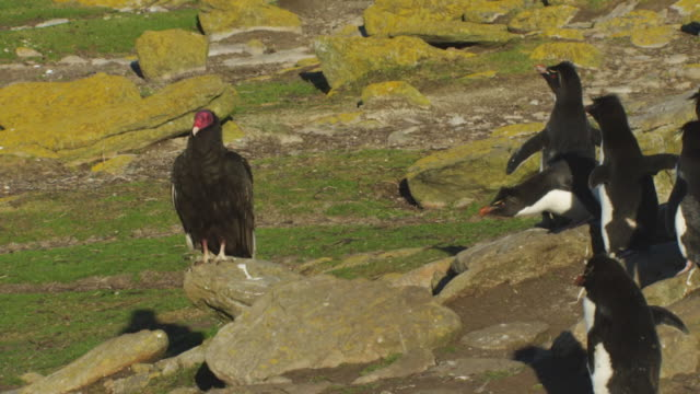 turkey vulture stands on rock with agitated rockhopper penguins calling at it - 大西洋諸島点の映像素材/bロール