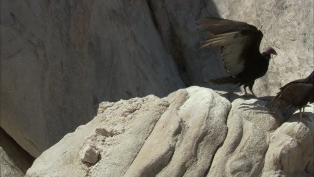 turkey vultures land on rock - spread wings stock videos & royalty-free footage