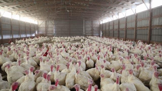 Turkeys in the barn at Yordys Turkey Farm in Morton Illinois on Saturday Nov 11 2017 Videographer Daniel Acker Shots Wide pan right of many turkeys...
