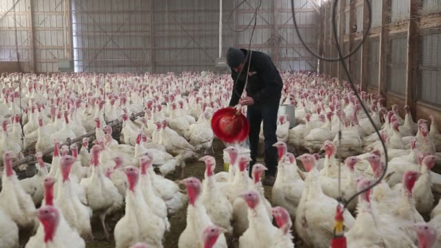 Turkeys in the barn at Yordy�s Turkey Farm in Morton Illinois on Saturday Nov 11 2017 Videographer Daniel Acker Shots Several similar shots of...