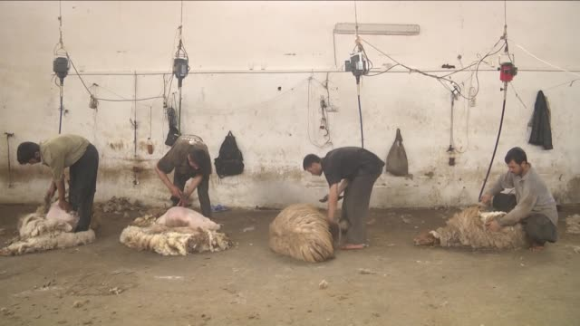 turkish general directorate of agricultural enterprises officers shear awassi sheep before summer season at ceylanpinar agricultural enterprise in... - sheep shearing stock videos & royalty-free footage