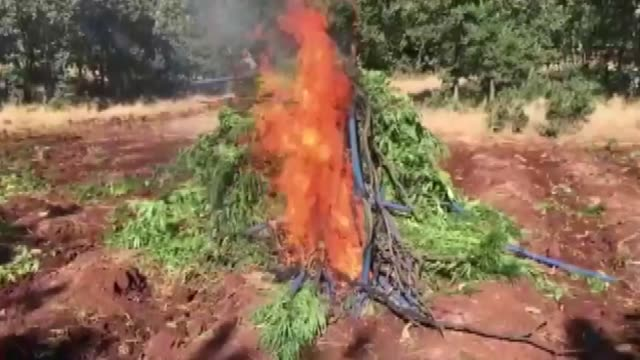 turkish law enforcement agencies have seized more than 12 million cannabis sativa roots the most frequently consumed illicit drug worldwide in two... - cannabis sativa stock videos and b-roll footage