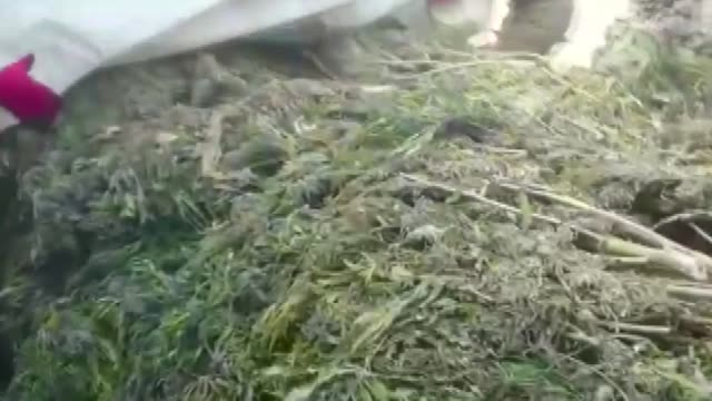turkish security forces have seized over 4500 kilograms of marijuana and nearly 185000 cannabis sativa roots during an operation against the pkk... - cannabis sativa stock videos and b-roll footage