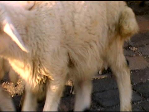 vídeos y material grabado en eventos de stock de turco ovejas pastor de cabras en gorme - grupo mediano de animales
