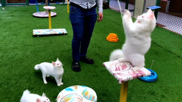 a turkish van cat sits in an enclosure at the van cat research center on february 8 2018 in van turkey the famous turkish van cat is one of the... - lake van stock videos and b-roll footage