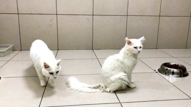 A Turkish Van cat sits in an enclosure at the Van Cat Research Center on February 8 2018 in Van Turkey The famous Turkish Van Cat is one of the...
