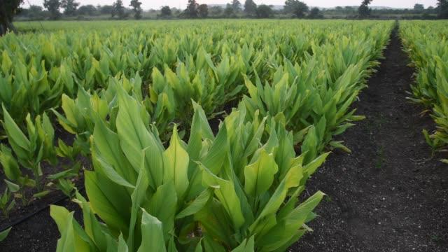 turmeric plant field at village, maharashtra, india. - pianta coltivata video stock e b–roll