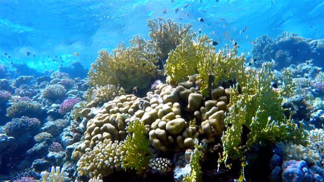 Schalten Sie Korallenriff mit viel Fisch am Roten Meer