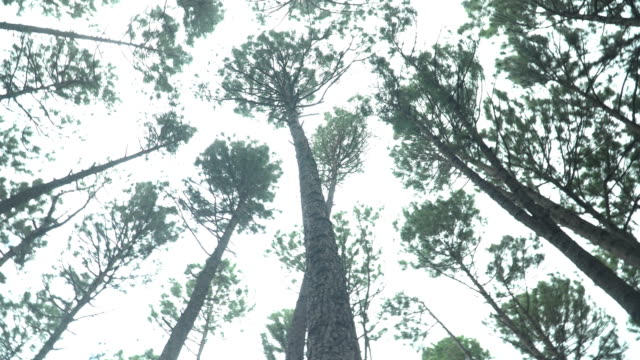 vídeos de stock e filmes b-roll de turning around to see treetop of pine forest - pine