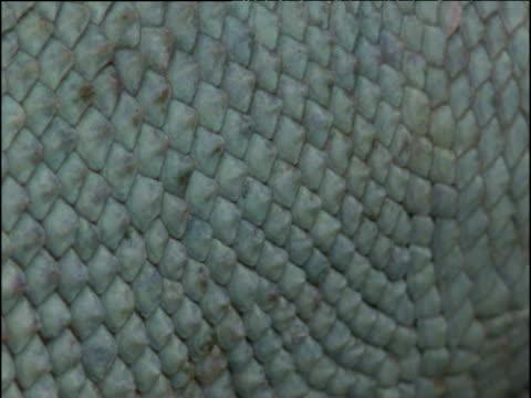 vidéos et rushes de turquoise scales of male marine iguana, galapagos islands - diamand
