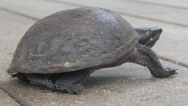 turtle 06 - hd 30f - animal shell stock videos & royalty-free footage