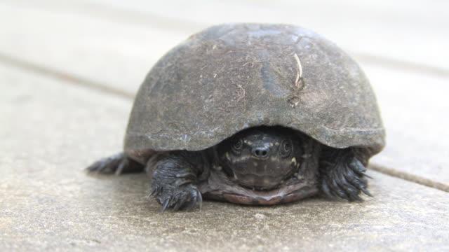 Turtle 1 tl - HD 30F