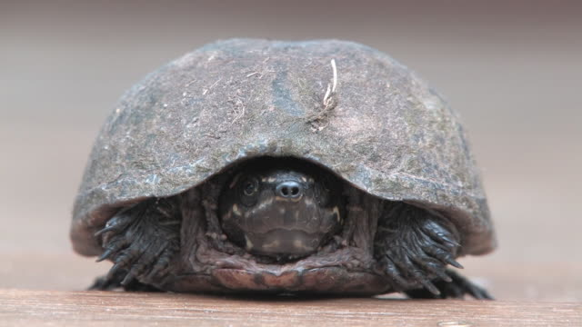 vídeos de stock, filmes e b-roll de turtle 20-hd 30f - esconder