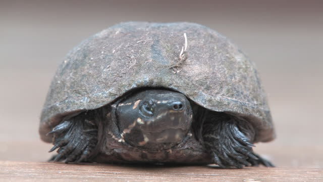 turtle 21 - hd 30f - animal shell stock videos & royalty-free footage
