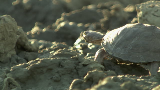 a turtle ambles through mud. - mud stock videos & royalty-free footage