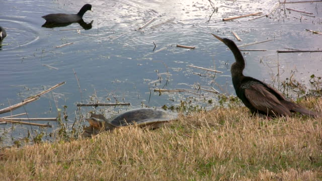 turtle and anhinga - animal shell stock videos & royalty-free footage