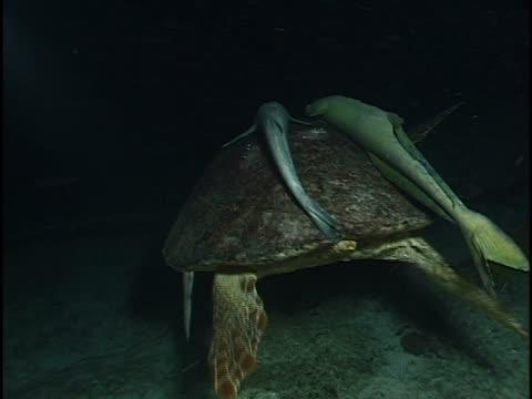 turtle and fish in the sea - sugfisk bildbanksvideor och videomaterial från bakom kulisserna