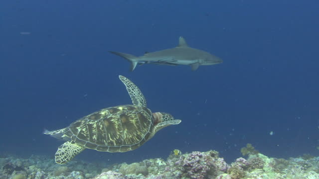 turtle und shark - chelonioidea stock-videos und b-roll-filmmaterial