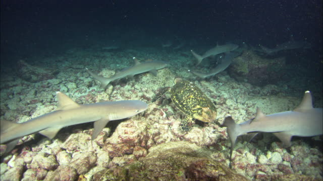 Turtle and White Tip sharks, Costa Rica, Pacific Ocean