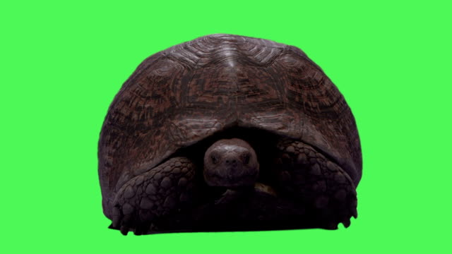 turtle animal on green screen - hiding stock videos and b-roll footage