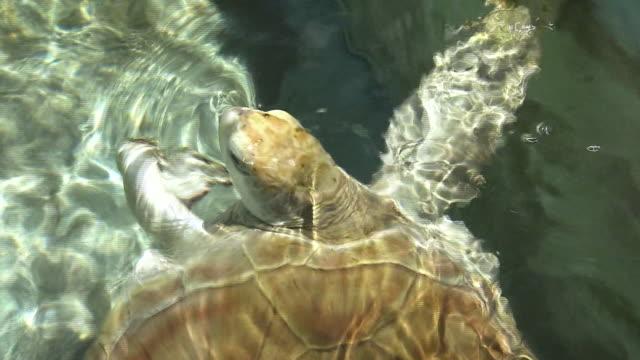 turtle at ogasawara marine center, japan - loggerhead sea turtle stock videos & royalty-free footage