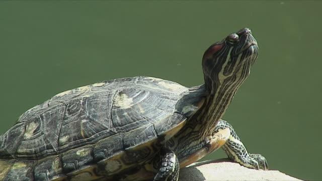 stockvideo's en b-roll-footage met cu turtle basking in sunlight, central park, hong kong, china - hong kong