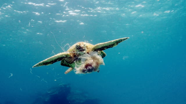 turtle eating jellyfish - grandangolo tecnica fotografica video stock e b–roll