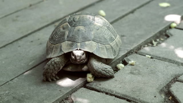 Turtle eating mulberry