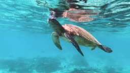 A turtle eats small jellyfish at the surface of the ocean in turquoise blue water, cleaning up the sea and controlling the population.